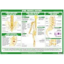 Spine Nerves Anatomy Poster
