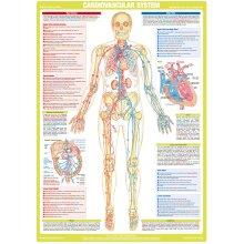 Cardiovascular System Poster