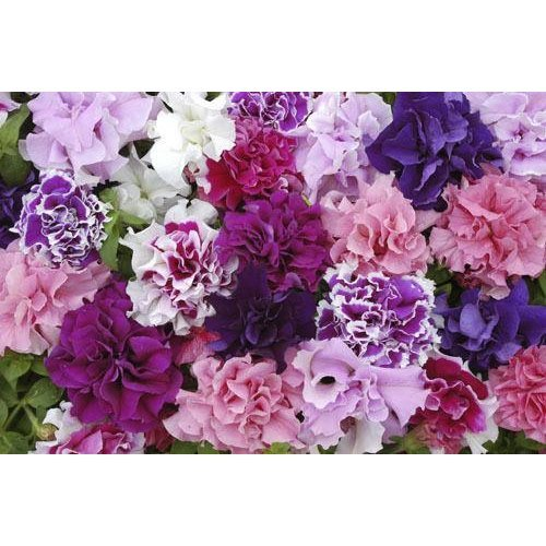 Flower - Petunia - Double Pirouette Mixed - 150 Seeds