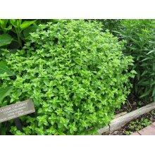 Calamintha nepeta Lesser calamint Young Plant 9cm Pot x 3 Pots
