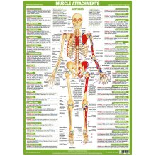 Muscle Attachments Anterior Poster