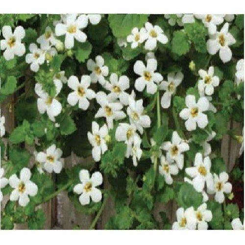 Flower - Bacopa Snowtopia - 5 Seeds
