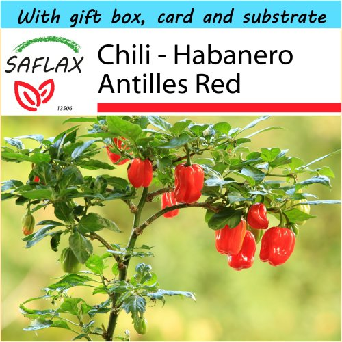 SAFLAX Gift Set - Chili - Habanero Antilles Red - Capsicum chinense - 10 seeds - With gift box, card, label and potting substrate
