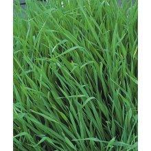 Green Manure - Grazing Rye - 1KG (xBulk)