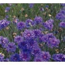 Flower - Cornflower - Crown Double Strain Blue - 200 Seeds