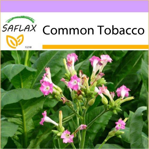 SAFLAX  - Common Tobacco - Nicotiana tabacum - 250 seeds