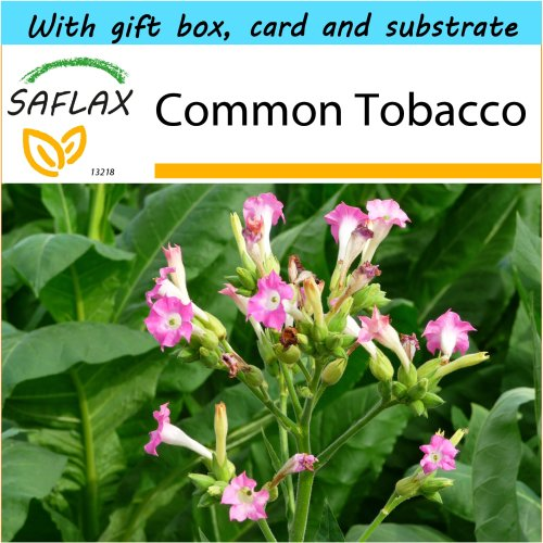 SAFLAX Gift Set - Common Tobacco - Nicotiana tabacum - 250 seeds - With gift box, card, label and potting substrate