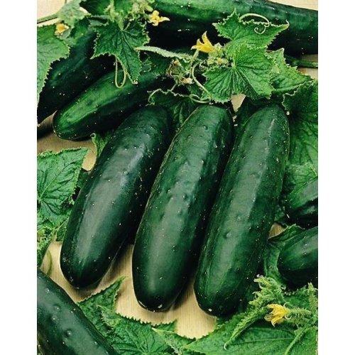 Organic Vegetable - Cucumber - Marketmore - 10 Seeds