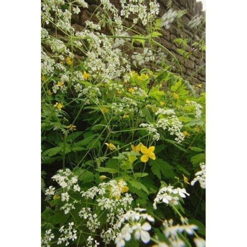 Wild Flower - Cow Parsley - Anthriscus Sylvestris - 300 Seeds