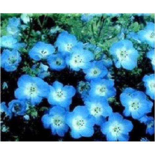 Flower - Nemophila Menziesii - Baby Blue Eyes - 800 Seeds