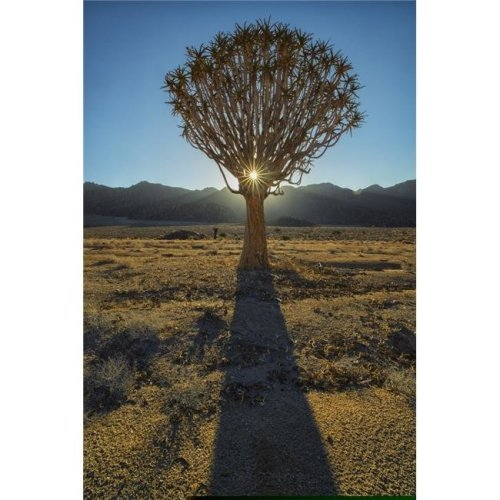 Sunburst Through A Kookerboom Tree in Richtersveld National Park - South Africa Poster Print - 24 x 38 in. - Large