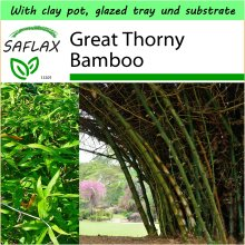 SAFLAX Garden to Go - Great Thorny Bamboo - Dendrocalamus arundinacea - 50 seeds - With clay pot, glazed tray, substrate and fertilizer