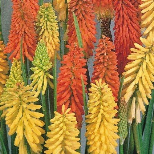 Flower - Kniphofia - Flamenco Mixed - 10 Seeds