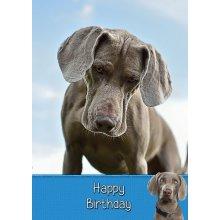 "Weimaraner Birthday Greeting Card 8""x5.5"""