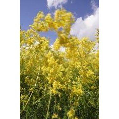 Wild Flower - Lady's Bedstraw - Galium Verum - 3000 Seeds