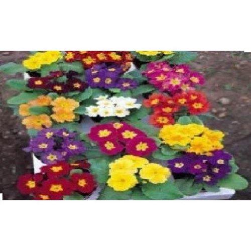 Flower - Primrose - Crown Mixed - 75 Seeds