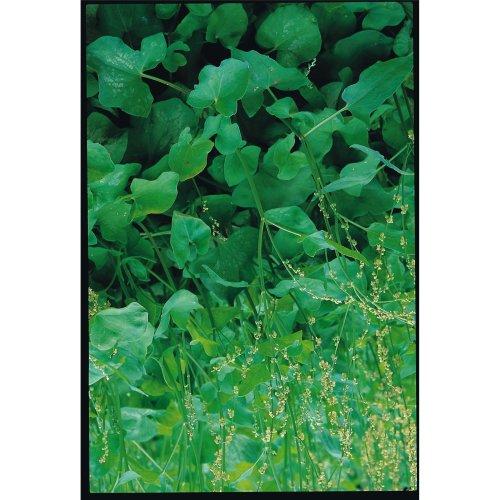 Herb - Sorrel - Large French - 1500 Seeds
