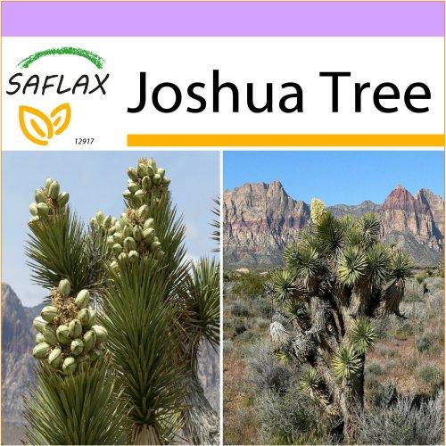 SAFLAX  - Joshua Tree - Yucca brevifolia - 10 seeds