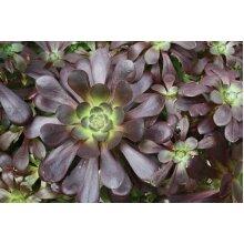 Aeonium Voodoo Young Plant 9cm pot x 3 Plants/Pots