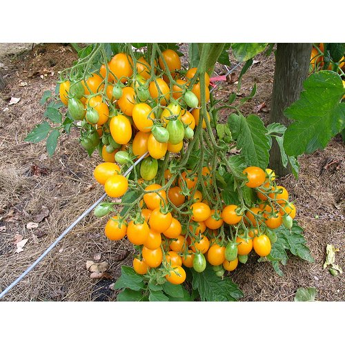 Tomato Ildi (20) Vegetable/Fruit Seeds