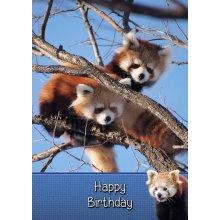 "Red Panda Birthday Greeting Card 8""x5.5"""