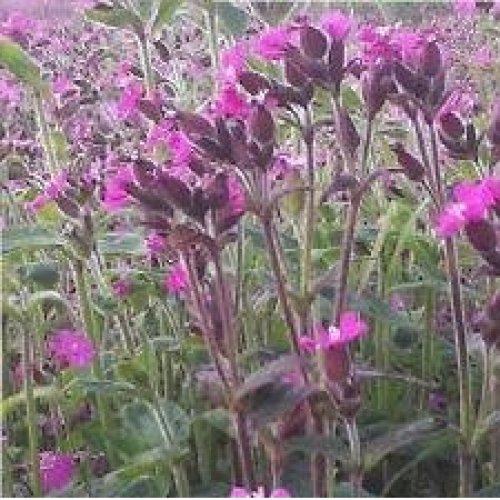 Wild Flower - Red Campion - Silene Dioica - 2000 Seeds