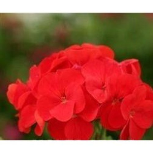 Flower - Geranium - Spirit Red F2 - 50 Seeds