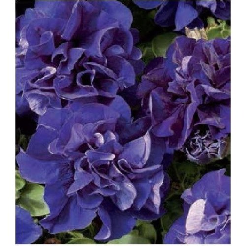 Flower - Petunia - Double Pirouette Blue - 30 Seeds