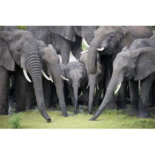 African elephants - Loxodonta africana drinking water in a pond  Tarangire National Park  Tanzania Poster Print by  - 24 x 16