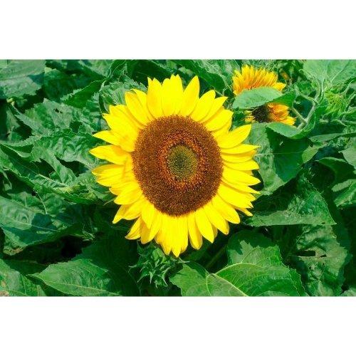 Flower - Sunflower - Bambino - 5 Seed