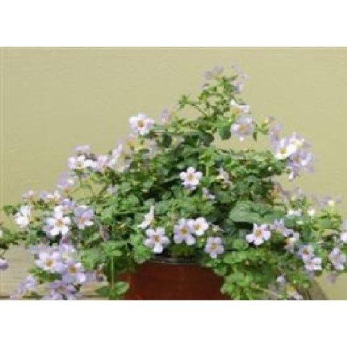 Flower - Bacopa Blutopia - 20 Seeds