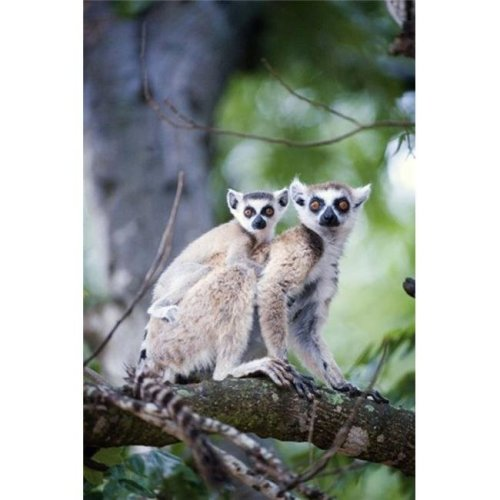 Ring-Tailed lemur - Lemur catta with its young one  Berenty  Madagascar Poster Print by  - 16 x 24