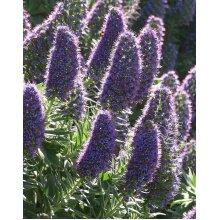 Echium Fastuosum Candicans Pride of Madeira Young Plant 9cm Pot x 3 Plants/ Pots