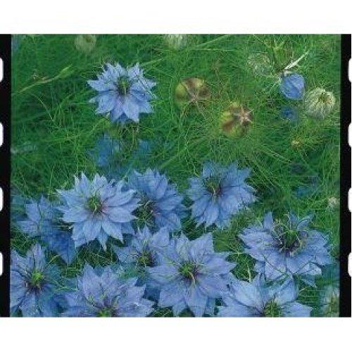 Flower - Nigella Damascena - Miss Jekyll - 300 Seeds