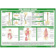 Spine and Back Muscles Anatomy Poster