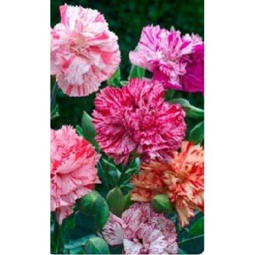 Flower - Carnation - Chabaud Picotee Fantasy Mixed - 250 Seeds