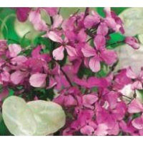 Flower - Honesty Mixed - 80 Seeds