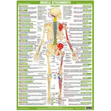 Muscle Attachments Rear View Poster