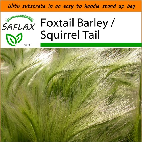 SAFLAX Garden in the Bag - Foxtail Barley / Squirrel Tail - Hordeum jubatum - 70 seeds - With substrate in a fitting stand up bag.