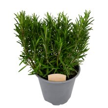 Rosemary Bush 14cm Pot - Ready to Plant in The Garden and Used for Culinary Purposes