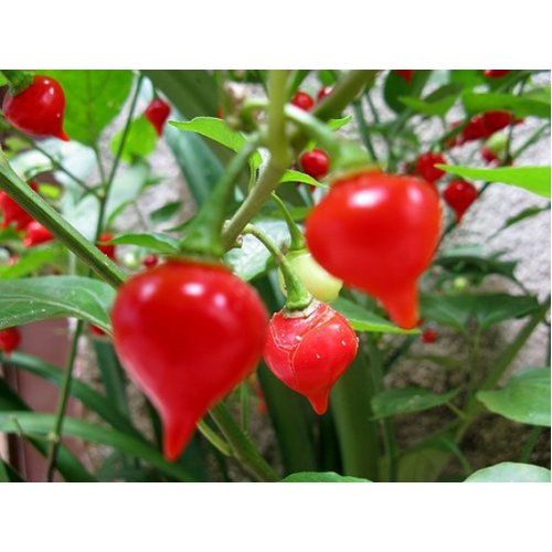 "Pepper Biquinho Red ""Pearl Peppers"" (20)"