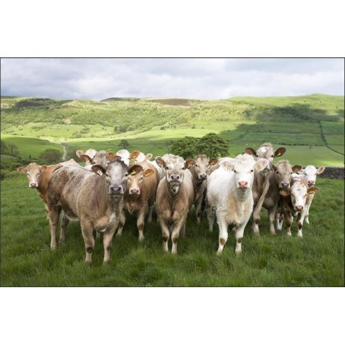 Dairy Cattle Derbyshire England Poster Print by Chris Upton, 34 x 22 - Large