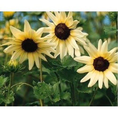 Flower - Sunflower - Vanilla Ice - 40 Seeds