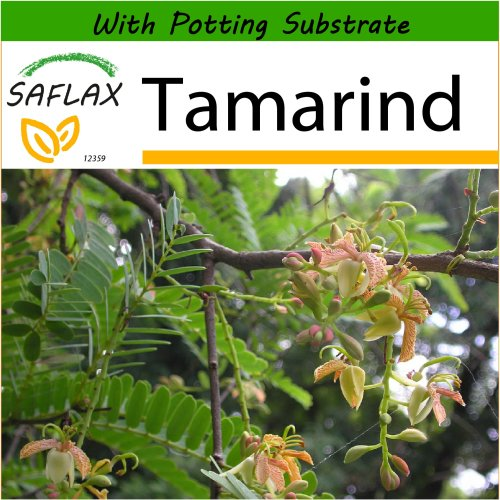 SAFLAX  - Tamarind - Tamarindus indica - 4 seeds - With potting substrate for better cultivation