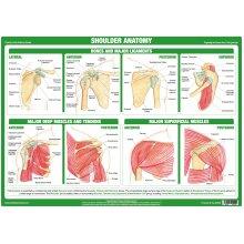Shoulder Joint Anatomy Poster