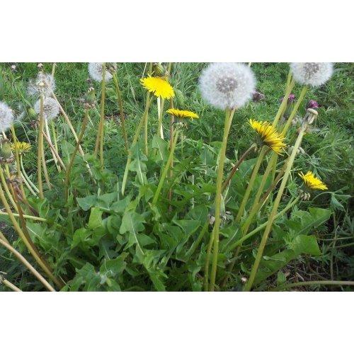 Wild Flower - Dandelion - Taraxacum Officinale - 5000 Seeds
