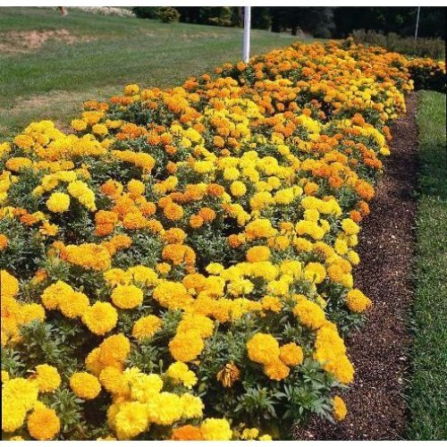 Flower - African Marigold - Crackerjack - 250 Seeds