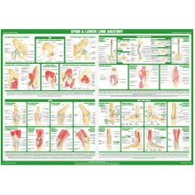 Lower Body and Spine Joint Anatomy Poster