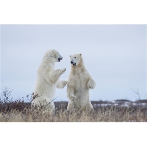 Polar Bears Sparring On The Coast of Hudson Bay - Manitoba Canada Poster Print by Robert Postma, 19 x 12