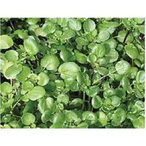 Salad - Watercress - Nasturtium Officinale - 600 Seeds